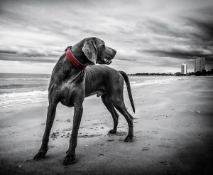 weimaraner on the beach